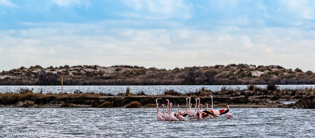 Flamingos in Saintes Maries de la Mer