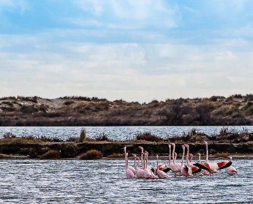 Flamingos in Saintes Maries de la Mer