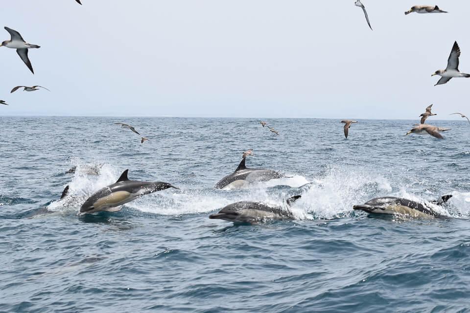 Kleiner Delfinschwarm vor Sagres