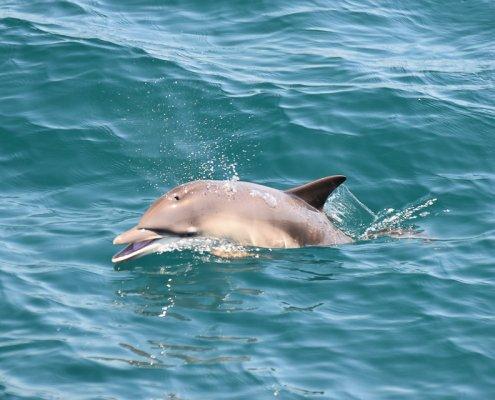 Flipper vor der Küste von Sagres
