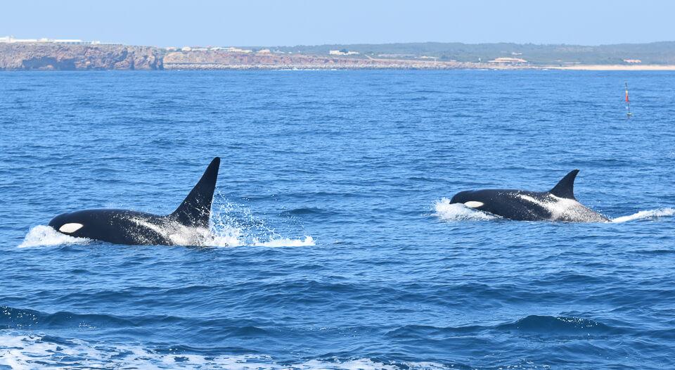 Orcas vor Sagres