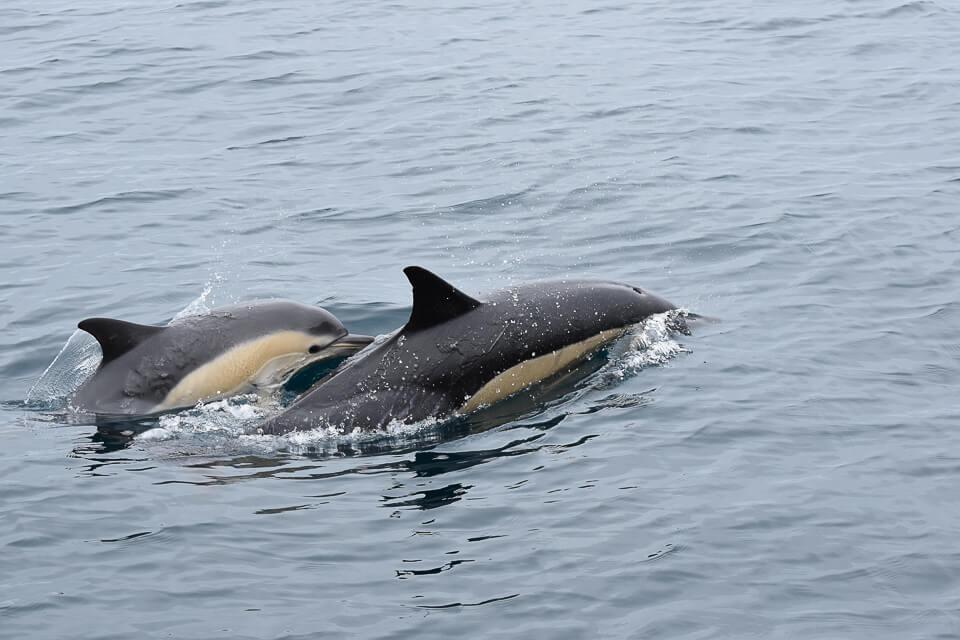 Delfinmutter mit Baby