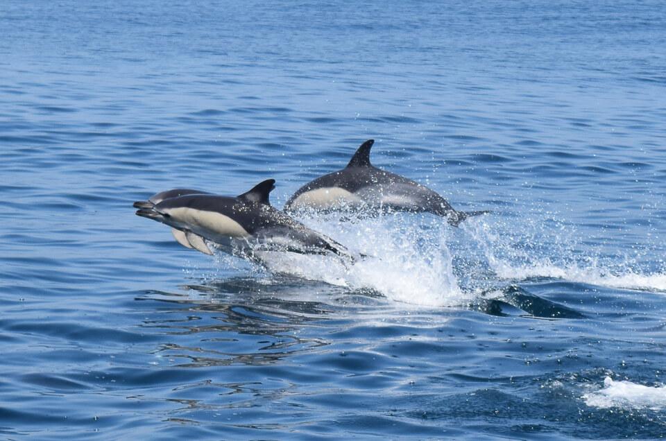 Delfine vor der Küste von Sagres