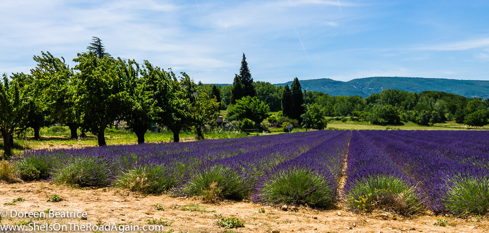 Lavendelfeld in Bonnieux