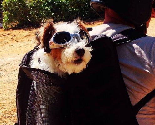 zeigt einen Hund im Rucksack