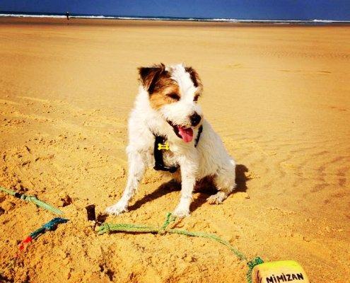 zeigt einen Jack Russell Terrier am Strand
