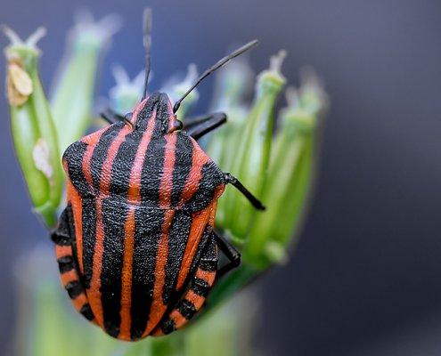 zeigt einen rot schwarz gestreiften Käfer