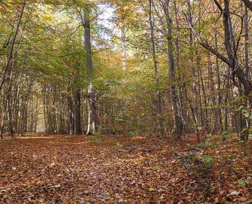 zeigt einen Laubwald und Herbstblätter am Boden