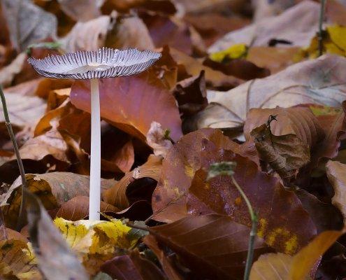 zeigt einen bläulichen Pilz in buntem Herbstlaub