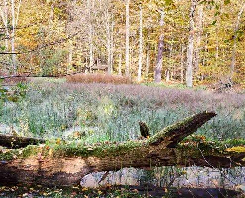 zeigt einen Baumstamm und buntes Laub an einem Teich im Wald