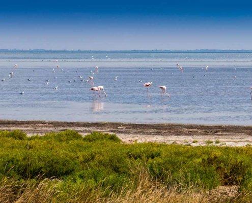 zeigt Flamingos der Camargue