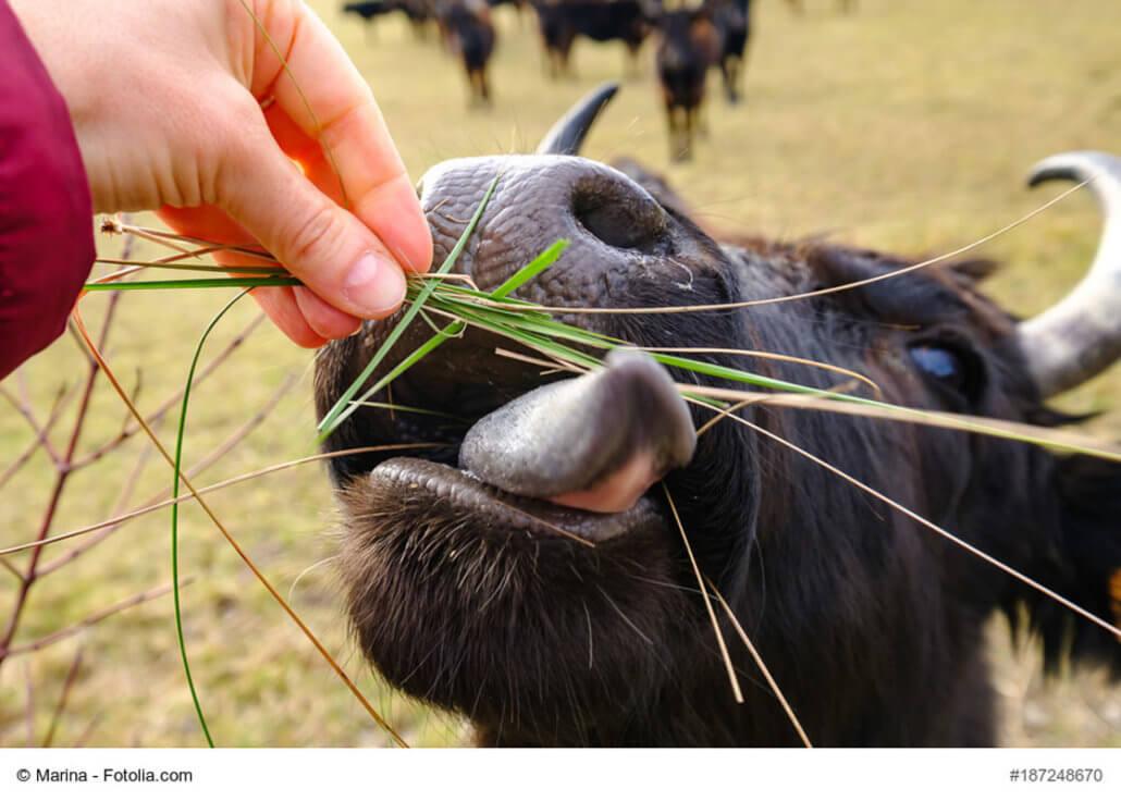 zeigt einen Stier der Camargue, der mit Gras gefüttert wird
