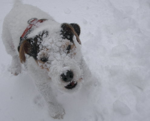 zeigt einen Hund mit Gesicht voll Schnee
