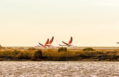 Flamingos in der Camargue