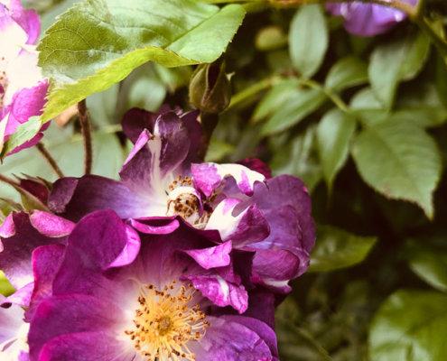 zeigt kleine Rosen