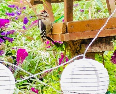 zeigt einen Specht am Vogelhaus