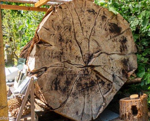 zeigt den Durchschnitt eines Mammutbaums in der Sequoia Farm Kaldenkirchen