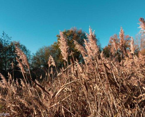 Wanderung am Niederrein zeigt Gräser am De Wittsee