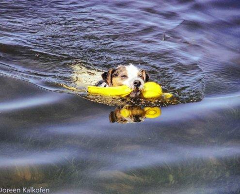 Terrier beim Schwimmen