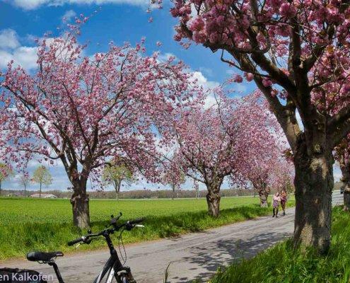 Kirschblüten in einer Allee, Fahrrad