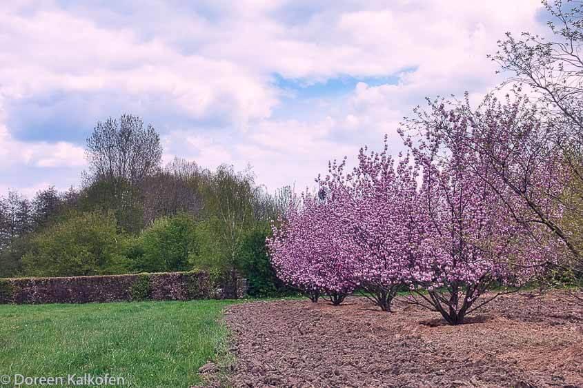 Fahrrad Touren am Niederrhein - vorbei an Kirschblüten