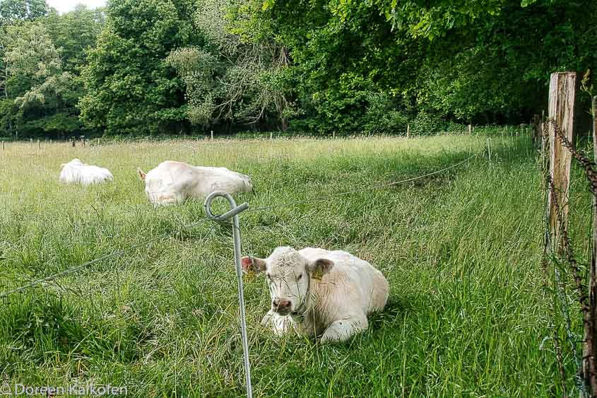 weiße Kühe auf Wiese